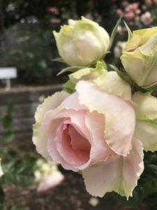 桃色なバラ