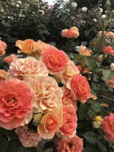 オレンジなバラ